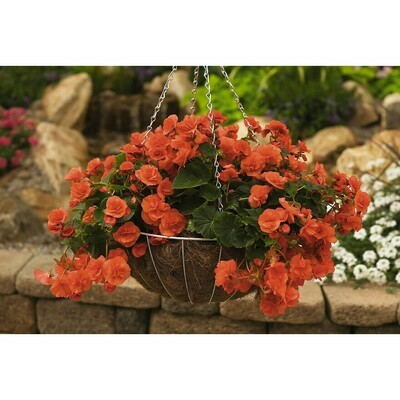 Solenia Orange Begonia