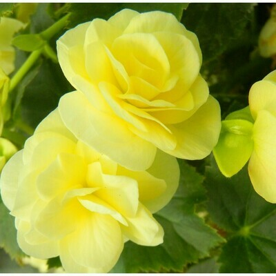 Light Yellow Begonia