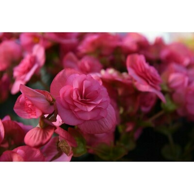 Dusty Rose Begonia