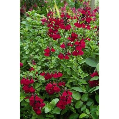 Heatwave Blaze Salvia