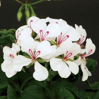 Blizzard White Ivy Geranium