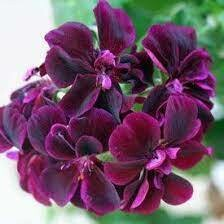 Contessa Purple Ivy Geranium
