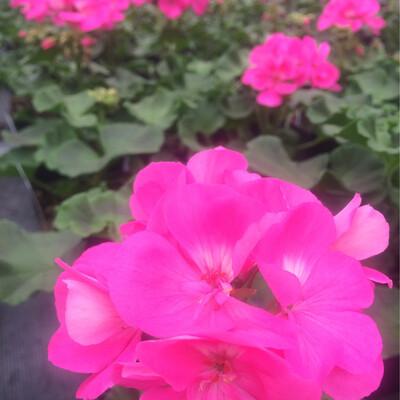 Pink Geranuims