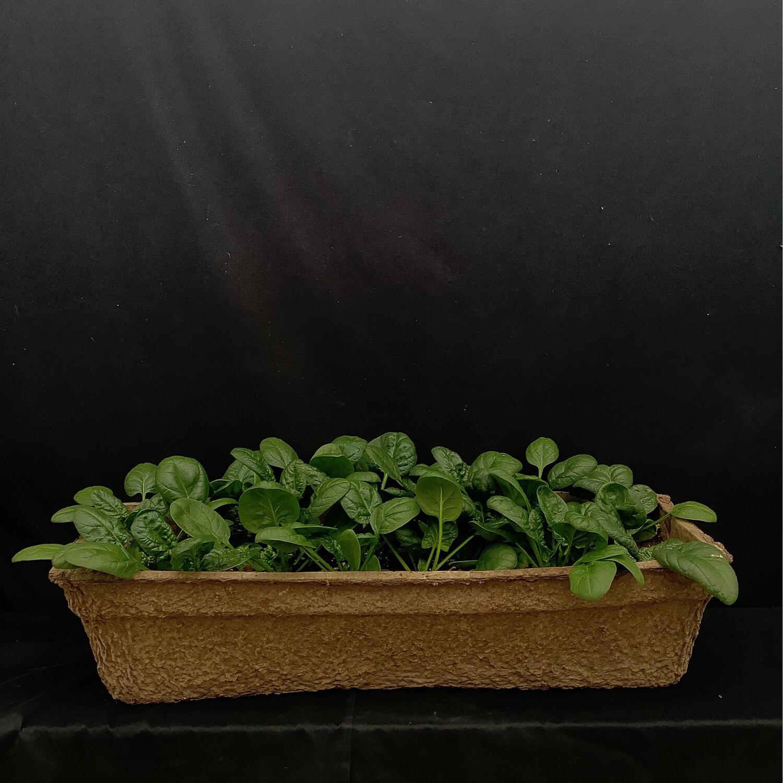 Spinach - Long Window Box