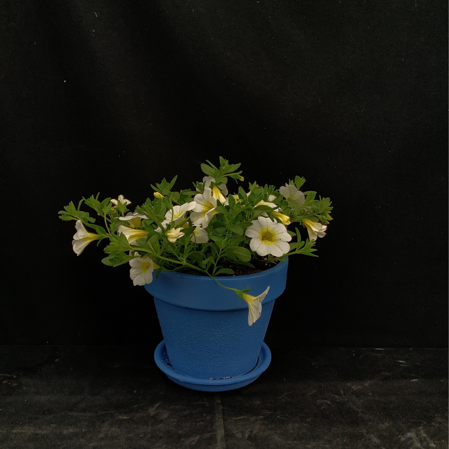 Small Blue Pot With Million Bells - Assorted