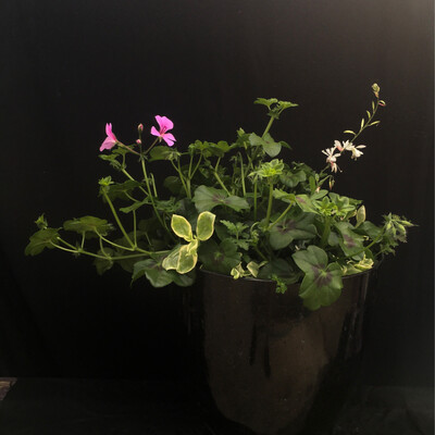 Large Black & Gold Speckled Pot With Ivy Geranium