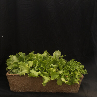 Lettuce Long Window Box