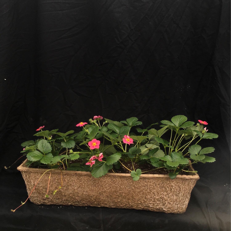Strawberries Long Window Box