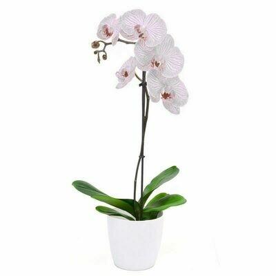 Orchidea un ramo con vaso ceramica