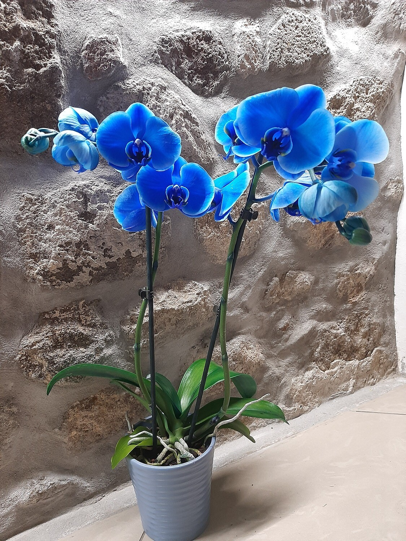 Orchidea blu due rami