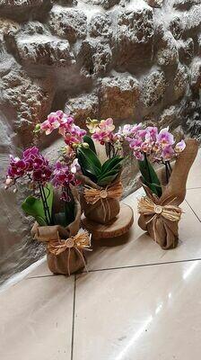 Mini orchidee confezionate