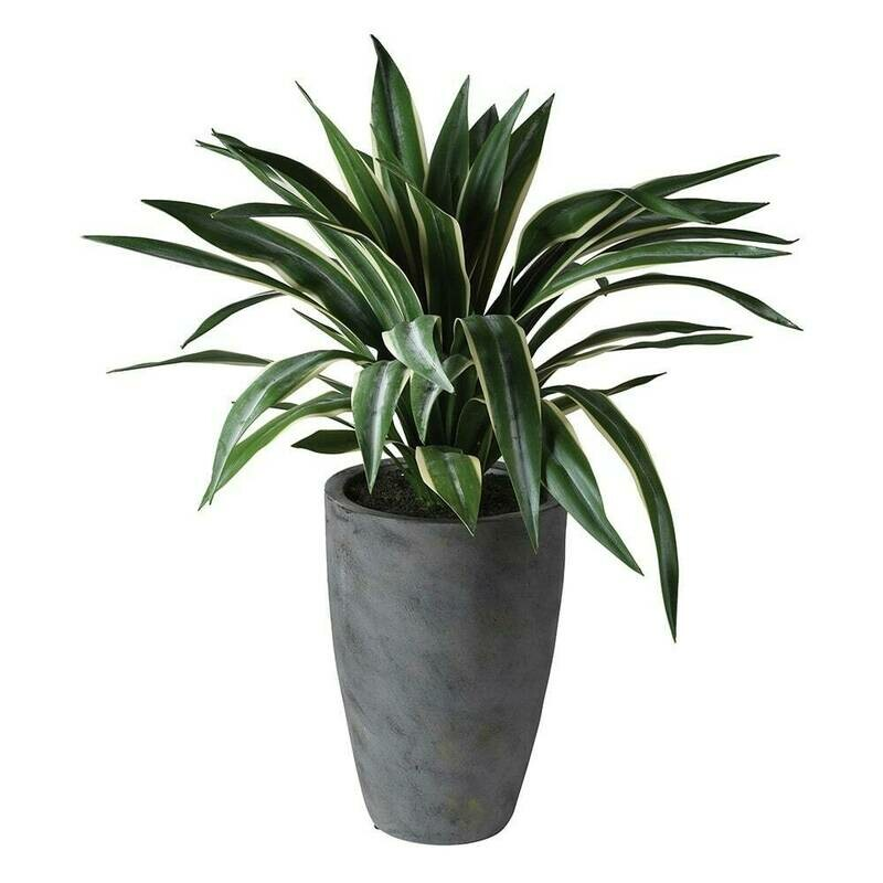 Tall Spider Plant