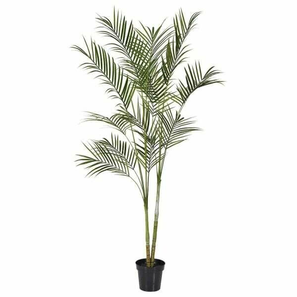 Tall Green Areca Palm