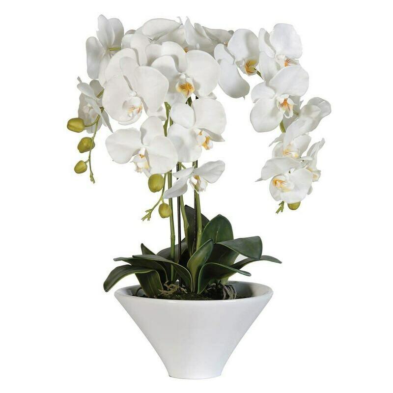 White Orchid Phalaenopsis Plants
