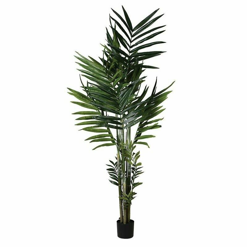 Green Kentia Palm