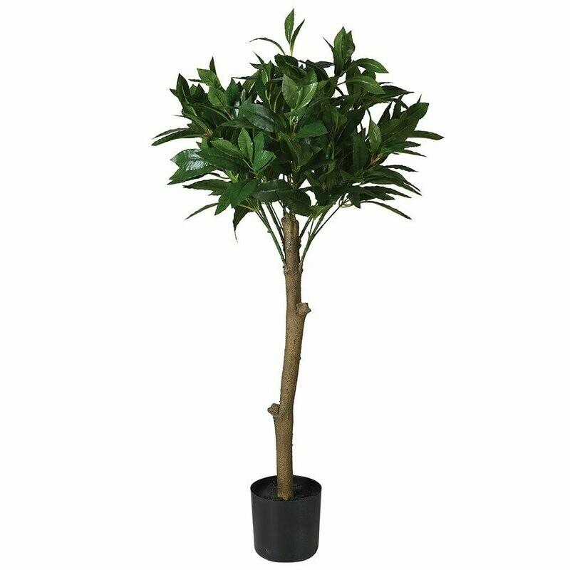 Bay Leaf Tree