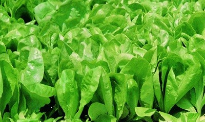 Insalatina (sacchetto 200 grammi)