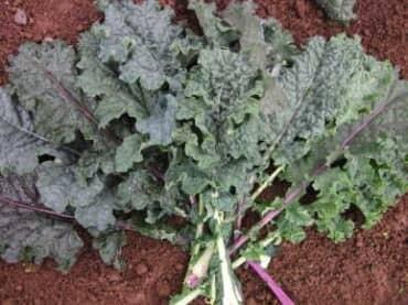 Kale-Rainbow Lacinato