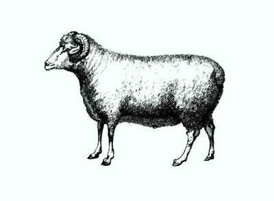 Lamb Stew bone-in
