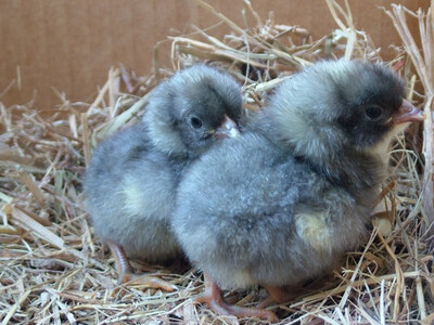 Blue Plymouth Rock FEMALE chicks. For 4/17/20 hatch date.