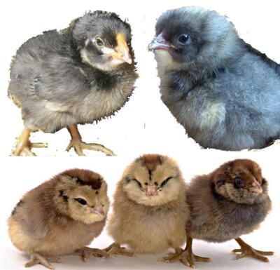 Egg layer bundle.  12 Female chicks. For 4/17/20 hatch date.