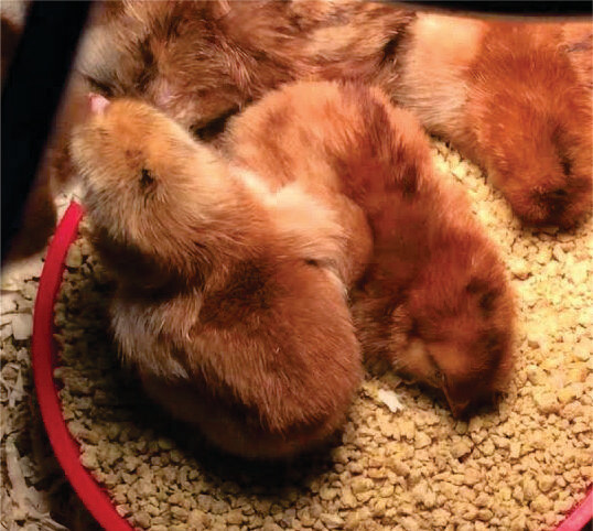 Rhode Island Red Chicks. Hatched of 5/21/20