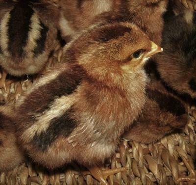 Welsummer chicks.  Hatched June 25th.  Straight Run