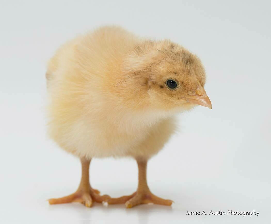Buff Orpington. Hatched June 11th. FEMALE 6/11/2020