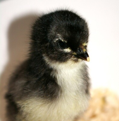 Australorp. Hatched June 11th. FEMALE 6/11/2020