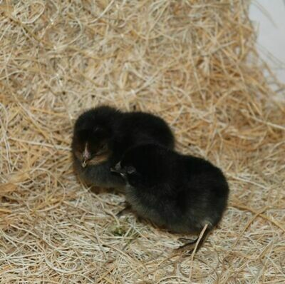 Black Beauties. Hatched June 11th. FEMALE 6/11/2020