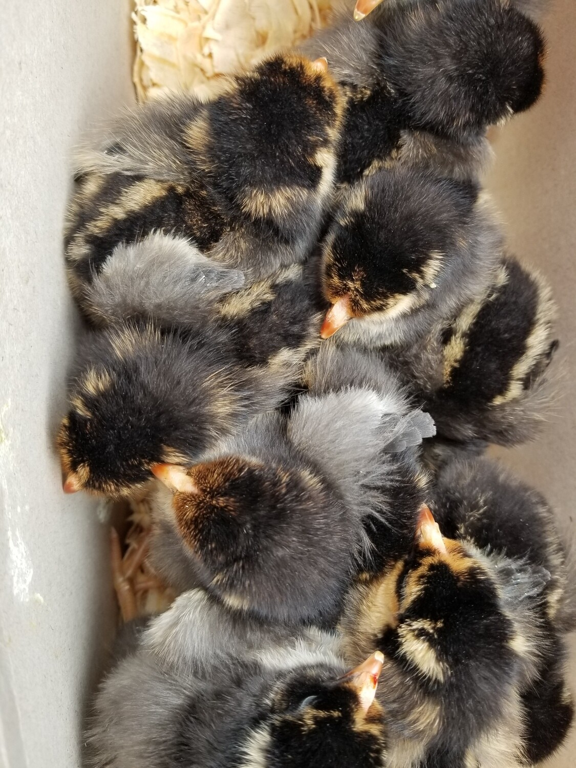Gold Laced Wyandotte. Hatched June 11th. FEMALE 6/11/2020