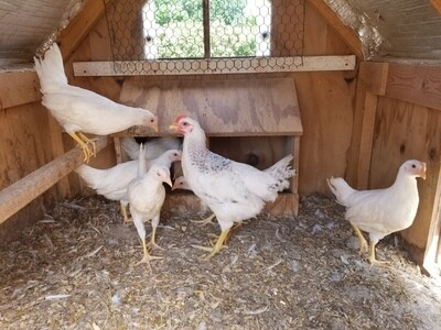 White leghorns. Started Pullets  Hatched 4/29/20