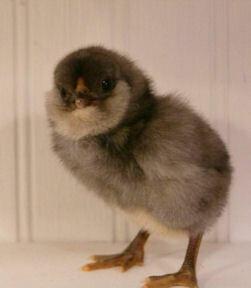 Olive Egger. FEMALE. 5/20/21 hatching.