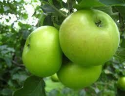 1/2 Bushel Summer Rambo Apples