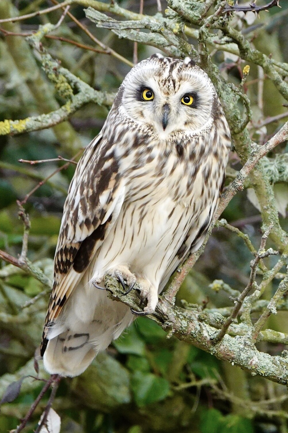 Short Eared Owl prices from