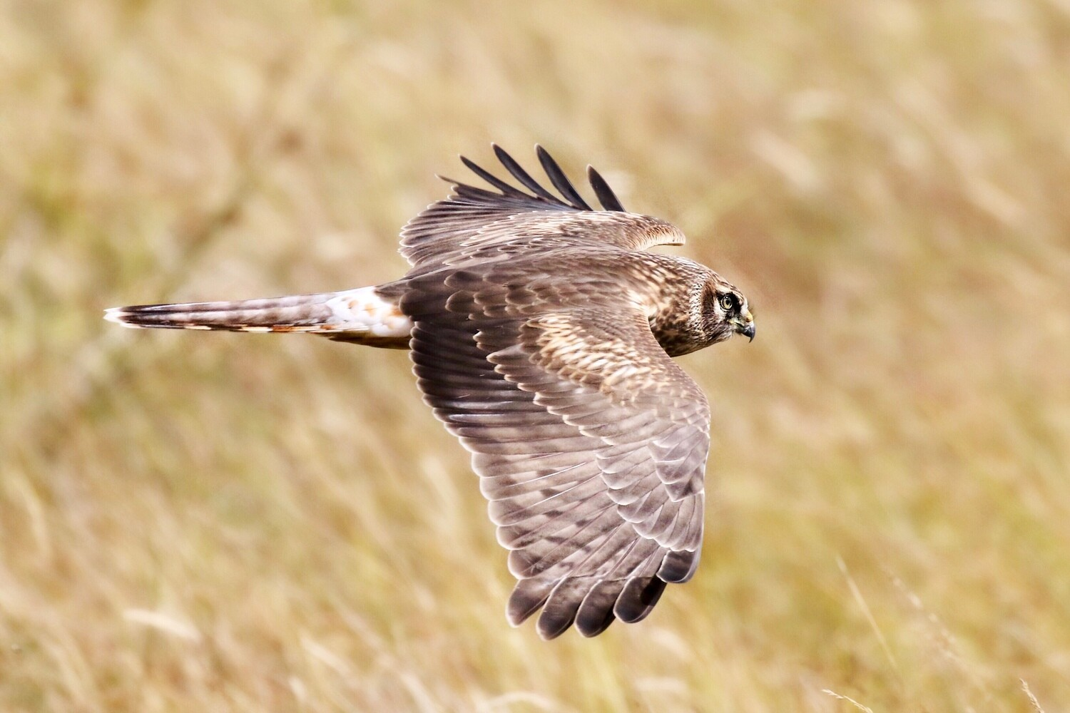 Female Hen Harrier prices from