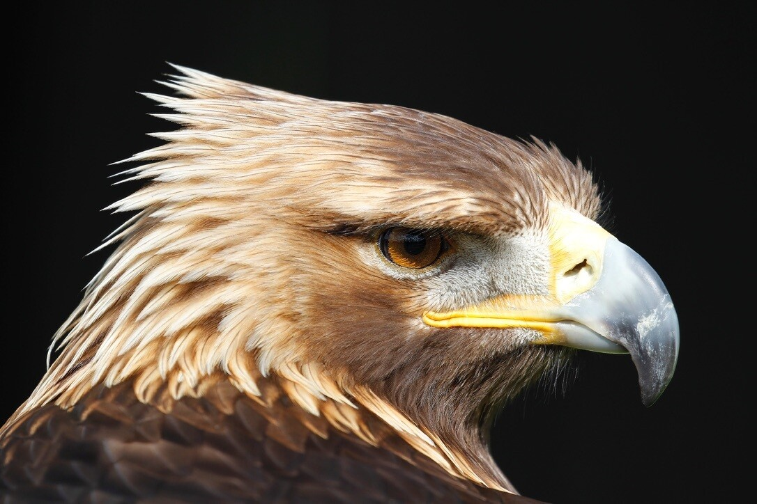 Golden Eagle prices from