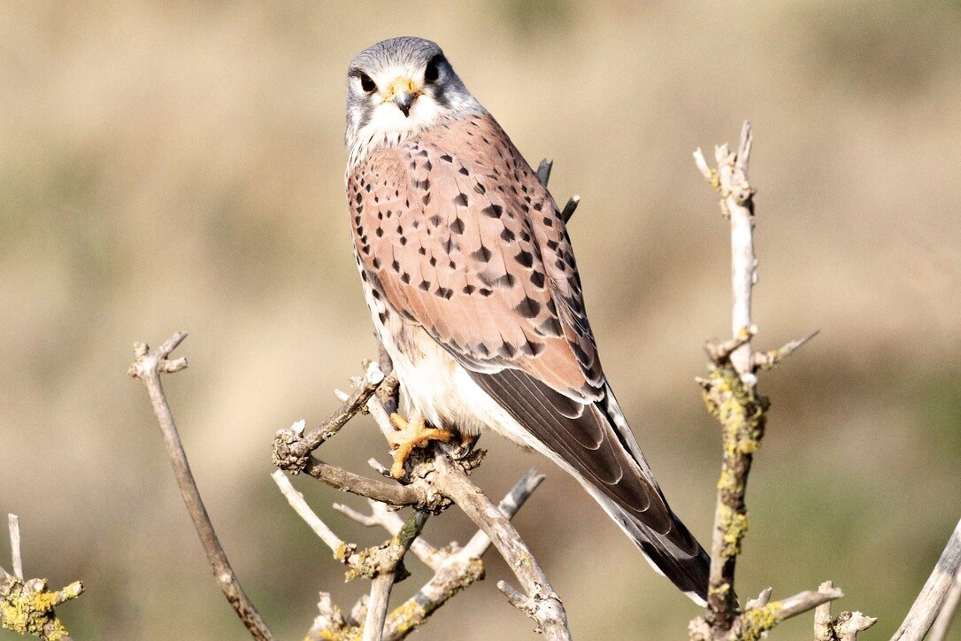 Kestrel prices from