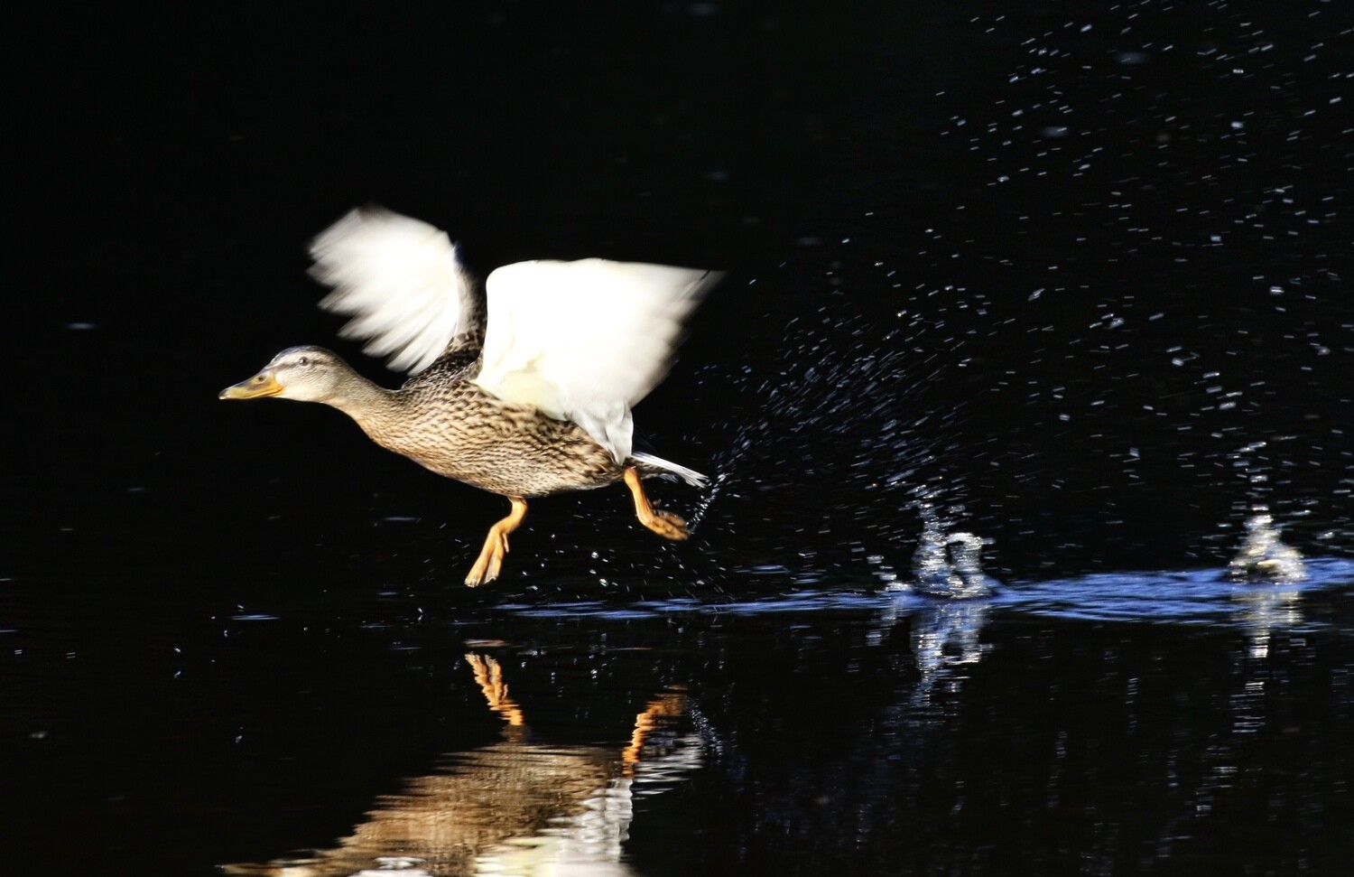 Duck on black background  prices from