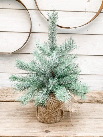 Rocky Mountain Pine Tree