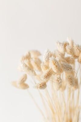 Phalaris beige