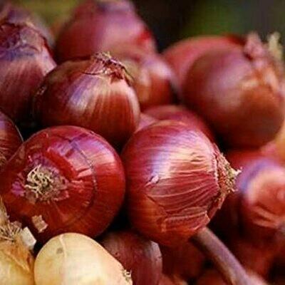 CIPOLLA ROSSA DI FIRENZE - Allium Cepa - conf. ORTO 12pz