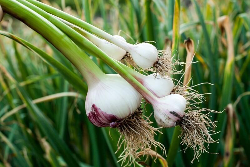 AGLIO BIANCO - Allium sativum - conf. ORTO 6pz