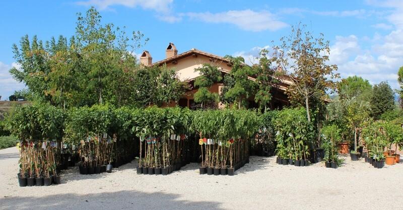 Amarena MARASCA DI VERONA v21 (frutto antico)