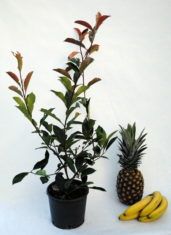 Photinia siepe vaso 18 Fotinia h 60/80