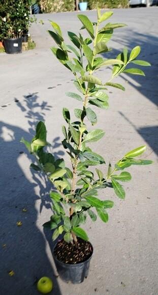 Prunus Lauroceraso Siepe v24 Lauro h 110/120