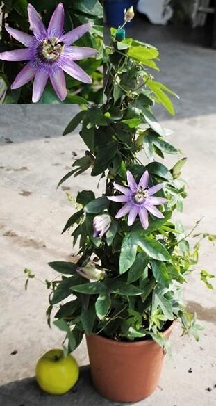 Passiflora Caerulea v18