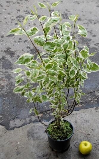 Cornus Alba Elegantissima vaso 24 cm