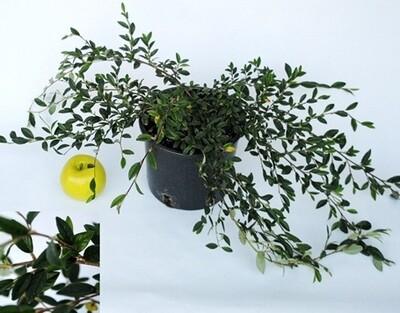 Cotoneaster Salicifolia v15