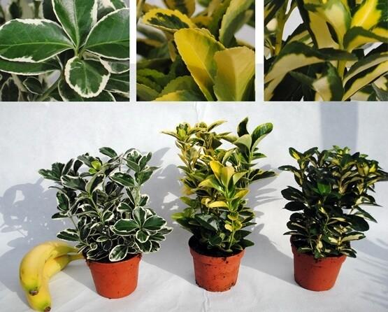 Euonimo Euonymus Variegato vaso 13 diverse varietà selezionabili